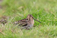 Common Snipe (Gallinago gallinago) adult, standing on grass, Suffolk, England, September