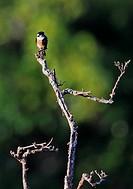 Black-thighed Falconet (Microhierax fringillarius) adult, perched on dead tree, Kerinci Seblat N.P., Sumatra, Greater Sunda Islands, Indonesia, June