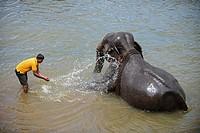 Elephants are taken to the river for a bath at Pinnawala Elephant Orphanage, Sabaragamuwa Province of Sri Lanka.