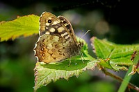 Butterfly, Speckled Wood, Pararge aegeria