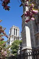 View of Notre Dame Cathedral through cherry blossoms in spring from Notre Dame Park, Ile de la Cite, Paris, France.