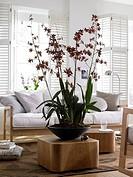 Colmanara wildcat bobcat in black ceramic bowl before sofa