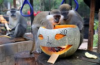 Animals at Varna Zoo were given ghoulish treats today (31Oct14) after pumpkins of all sorts and sizes were placed in their enclosures to celebrate Hal...
