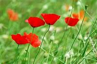 Poppy flowers growing in a summer meadow