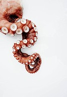 Octopus Tentacle on White