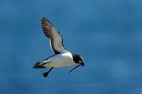Razorbill flying Alca torda. Ireland.