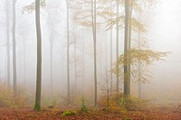 Beech Forest in Autumn, Nature park, Spessart, Bavaria, Germany, Europe.