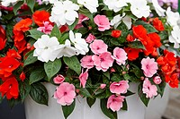 Impatiens New Guinea Divine Fresh mix
