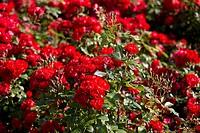 Rosa Black Forest Rose