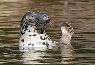 Grey seal (Halichoerus grypus), Stockholm, Sweden