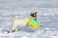 playing Parson Russell Terrier in the snow