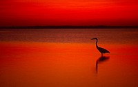 Great Blue Heron at sunset wading in water at Laguna Madre on Padre Island Texas USA