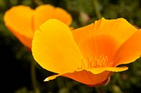 California poppies, Montana de Oro State Park, Los Osos, CA