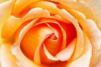 a close-up of a orange rose