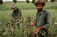Opium Poppy harvest with two Muslim men working in field.