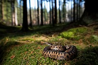 Adder (Vipera berus), curled up, female, darting the tongue in and out, Bavaria, Germany.