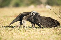 Giant anteater (Myrmecophaga tridactyla), female with cub on its back, walking in farmland, Mato Grosso do Sul, Brazil.