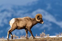 Bighorn sheep ram in Yellowstone National Park, Wyoming, USA.