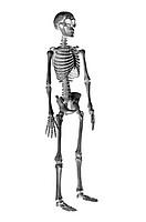 Human Bone,