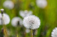 Dandelion,Floral,Day,