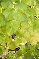 Grape, Victoria Island, Vancouver, Canada,