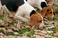 snuffling Beagle