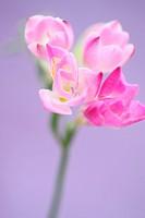 gentle pink freesia stem as sweet as its fragrance.