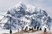 Gentoo penguin (Pygoscelis papua) colony at Port Lockroy, Antarctic Peninsula