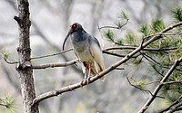 (150411) -- XI'AN, April 11, 2015 () -- Photo taken on April 11, 2015 shows a crested ibis during a release activity in Tongchuan City, northwest Chin...