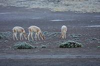 Vicunas (Vicugna Vicugna) By The El Tatio Geysers, Antofagasta Region, Chile