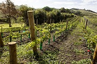 Vineyard in New Zealand