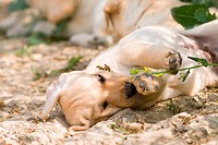 Labrador Retriever. Puppy lying in a field of flowering rape, playing with a stalk. Germany