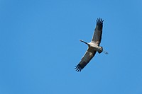 Crane (Grus grus) in flight, Mecklenburg-Western Pomerania, Germany