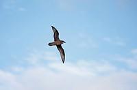 Murphy's Petrel (Pterodroma ultima) adult, in flight, Morane Island, Tuamotu Islands, French Polynesia, November