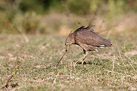Japanese Night-heron (Gorsachius goisagi) sub-adult, feeding, pulling earthworm from ground in grassland, Hong Kong, China, December