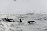 North Atlantic Killer Whale (Orcinus orca) pod, swimming at surface, with whalewatching boat in background, Grundarfjordur, Snaefellsnes, Vesturland, ...
