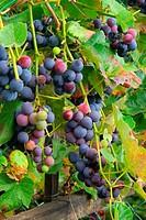 Weintraube rot - grape red 09