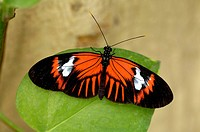 hecales longwing, passions flower butterfly (Heliconius melpomene), on leaf, Ecuador