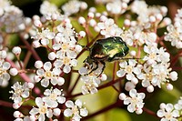rose chafer (Cetonia aurata), on flowers, Germany