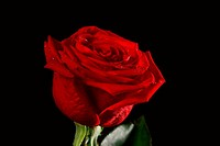 The dark red rose with drops from black background