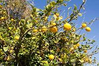 Lemon Tree with Fruits