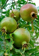 Wild apples growing in Kyrgyzstan