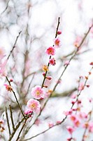 Plum blossoms blooming in spring