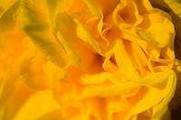 Yellow daffodil big closeup