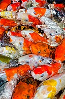 Colorful many Koi Carp