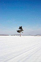 pine tree in a snow landscape
