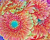 orange gerber daisies bouquet closeup