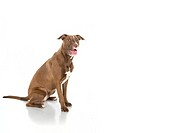Seated Dog Isolated on White in Pro