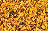 Yellow Linden Leaves on Ground in Autumn