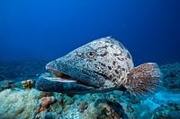 Potato Cod, Epinephelus tukula, Osprey Reef, Coral Sea, Australia.